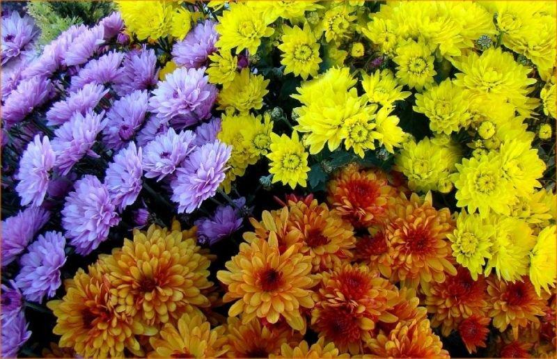chrysanthmesttescouleurs.jpg