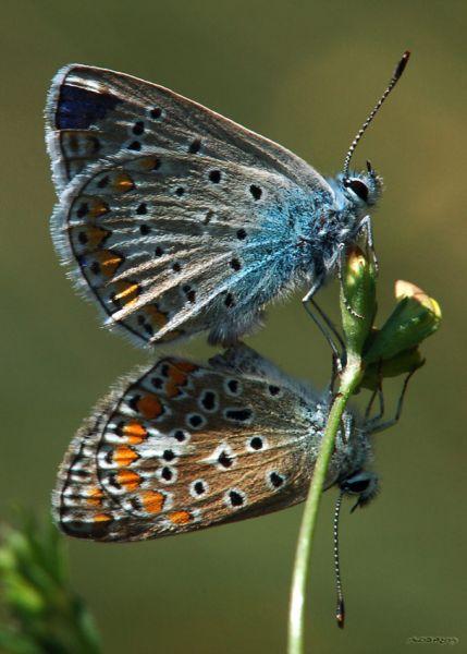 couplepapillonsbleus471.jpg