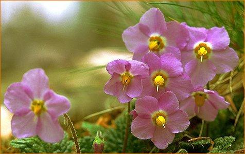 fleurspyrnes.jpg