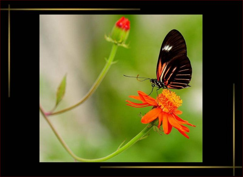 papillonsmarguerite.jpg