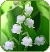 fleursdemuguet.jpg