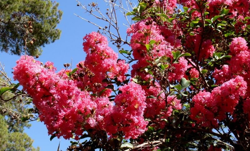 lagerstroemia20indica20flowers20red.jpg