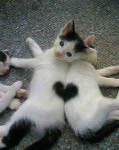 Bonne Saint Valentin ! dans Les Chats (55) chat-coeur-237x300