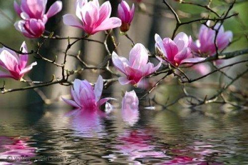 2251328-belle-fleurs-de-printemps-sur-un-magnolia-japonais.2