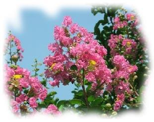 Aujourd'hui, c'est le printemps ! dans Belles images lagerstroemia_1