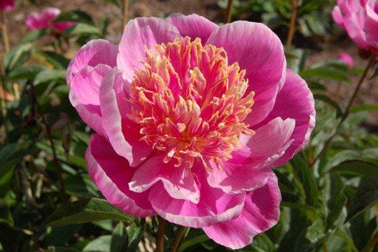 pivoines-jardin-fleurs-510129