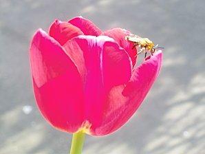 La tulipe ... dans Poésies, Fables, contes, ... (136) tulipes-004