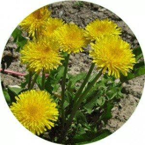 hydrolat-aromatique-bio-de-pissenlit-200-ml