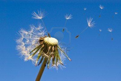 Le vent souffle où il veut ... dans Poésies, Fables, contes, ... (171) 9176849-gros-plan-de-pissenlit-et-les-graines-qui-souffle-dans-le-vent