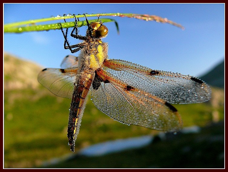 L'histoire d'une libellule ... dans Textes à méditer (239) lhistoire-dune-libellule