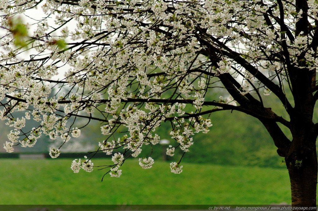 premiers_arbres_en_fleurs_au_printemps_-01