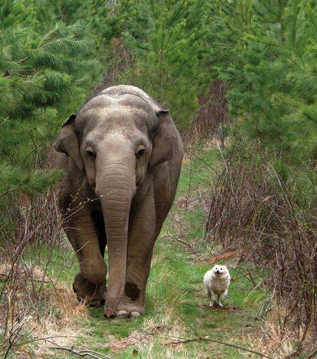 L'éléphant et le chien ! dans Amitiés (74) cet-elephant-et-ce-chien-se-baladent-ensemble-comme-deux-veritables-amis-de-la-meme-espece_126752_w460