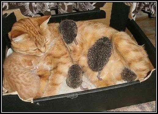 Saison des bébés hérissons ... dans Arche de Noé chat-herissons-1