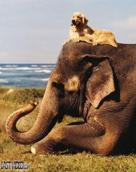 chien-assis-sur-un-elephant dans Poésies, Fables, contes, ... (171)