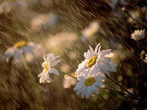 daisies_in_the_rain-300x225 dans Poésies, Fables, contes, ... (171)