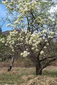 poirier printemps