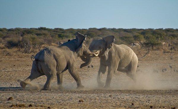 elephants_lutte_entre_males